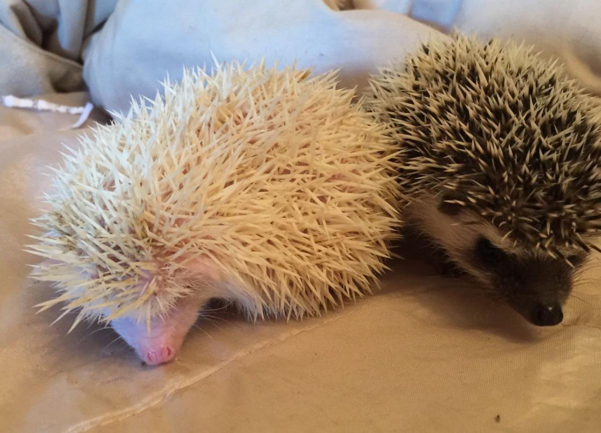 ee9cfdeb0afa Hedgehog Animals For Sale   San Diego, CA #125539