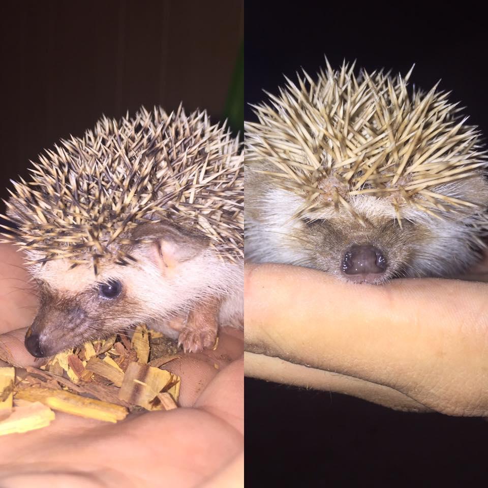 39270d81a3ba Hedgehog Animals For Sale   Canton, OH #151670   Petzlover