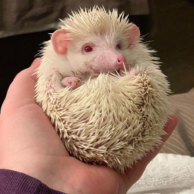 84716b6d9f37 Hedgehog Animals For Sale   Fresno, CA #292706   Petzlover