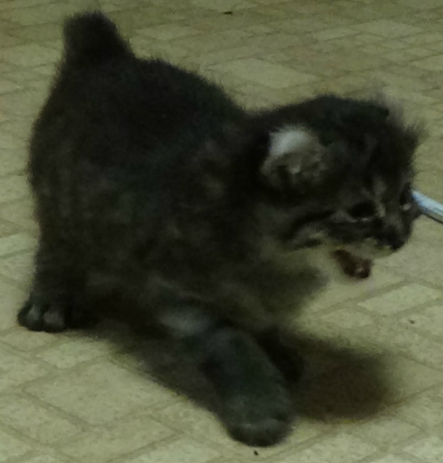 Highland Lynx Cats For Sale | Longview, TX #237359