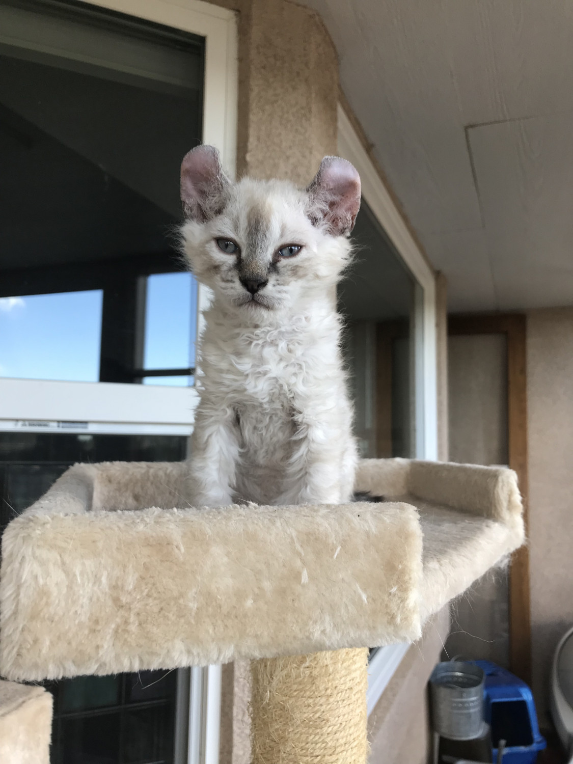 Highland Lynx Cats For Sale Colorado Springs Co 278455