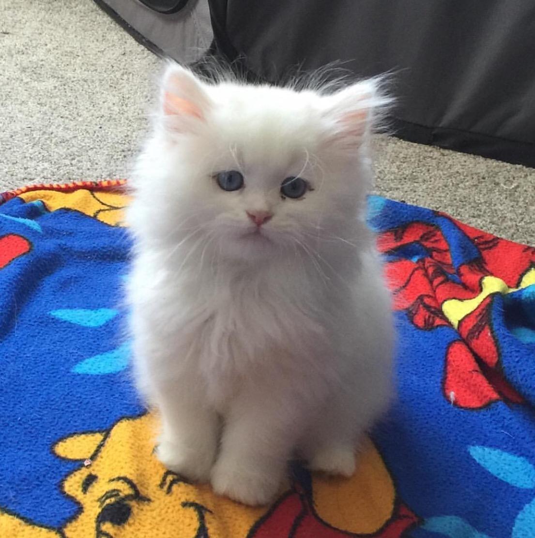 Himalayan Cats For Sale | Hartford, CT #152920 | Petzlover