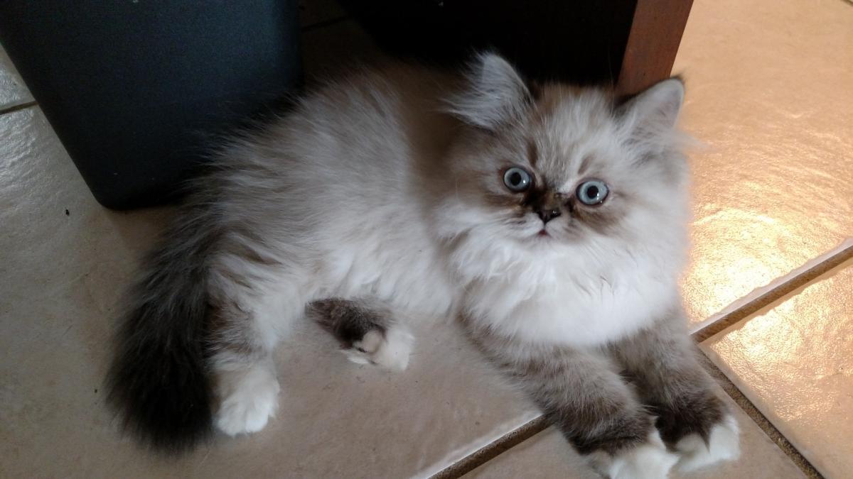 Himalayan Persian Cats For Sale | Deltona, FL #101089