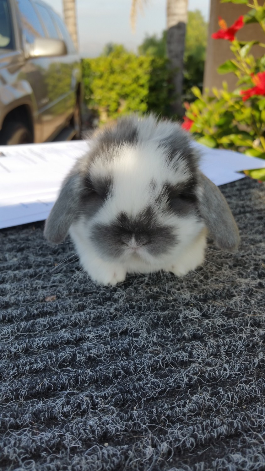 Holland Lop Rabbits For Sale Riverside Ca 257404
