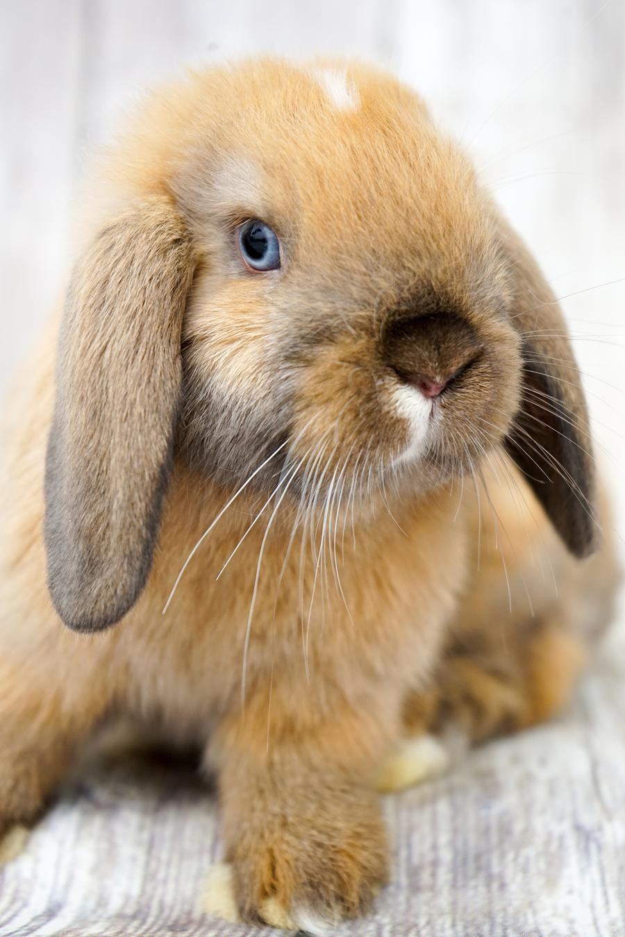 Holland Lop Rabbits For Sale | Riverside, CA #280205