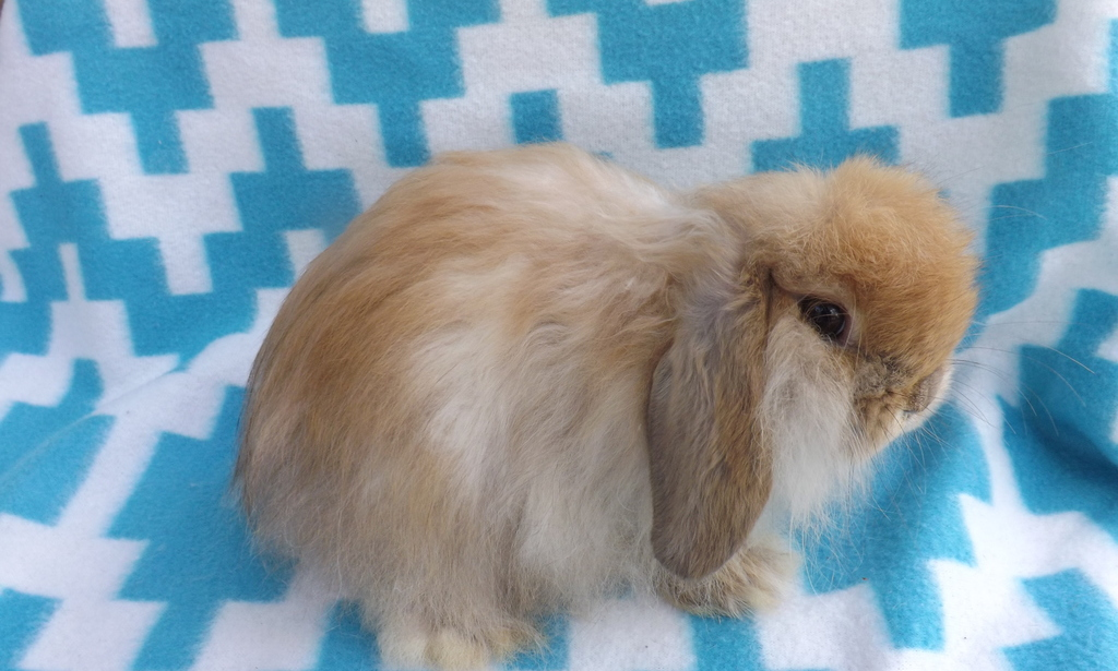 Holland Mini Lop Rabbits For Sale Floral City Fl 188084