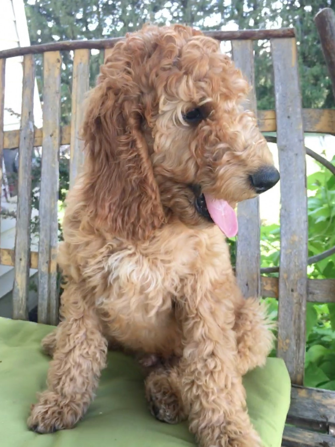Irish Doodles Puppies For Sale Near Pittsburgh Pa Usa