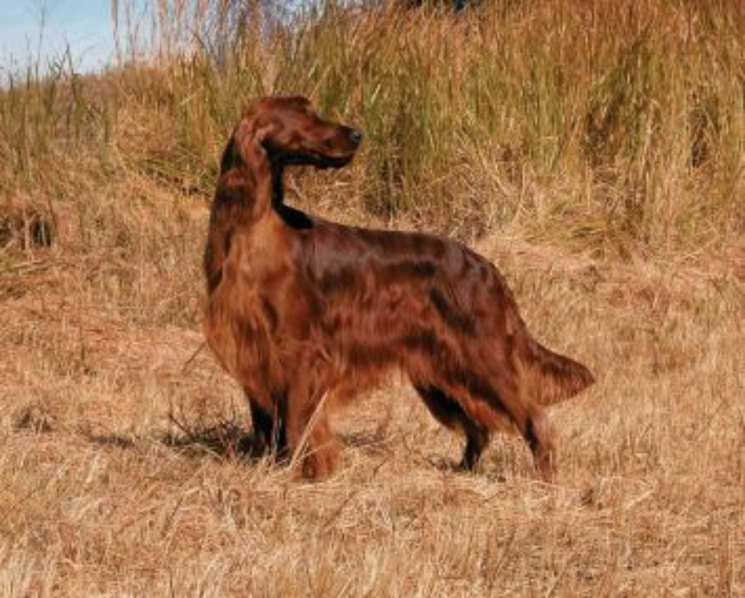 Irish Setter Vs Golden Retriever