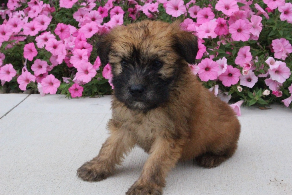 Irish Terrier Puppies For Sale Canton Oh 163353
