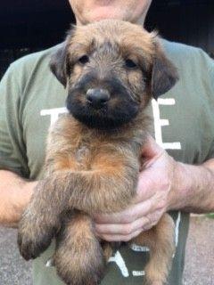 Irish Terrier Puppies For Sale Merrick Ny 190518
