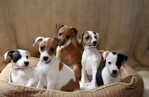 Italian Greyhound Puppies For Sale | New Orleans, LA #70609