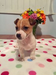Jack Russell Puppies For Sale In Virginia Beach