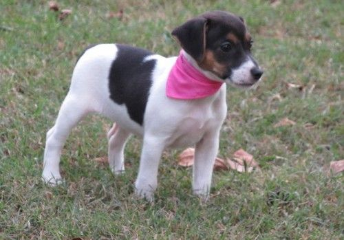 jack russell terrier mass jack russell terrier puppies for sale westminster ma 6447