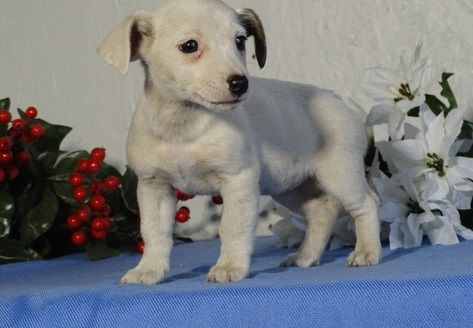 jack russell terrier mass jack russell terrier puppies for sale new bedford ma 8774