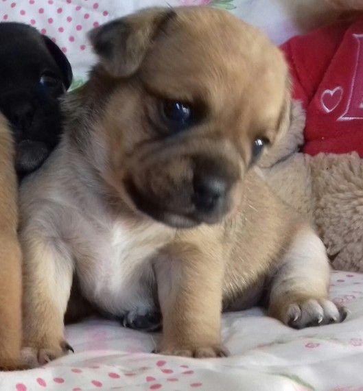 Jug Puppies For Sale Nashville Tn 194427 Petzlover