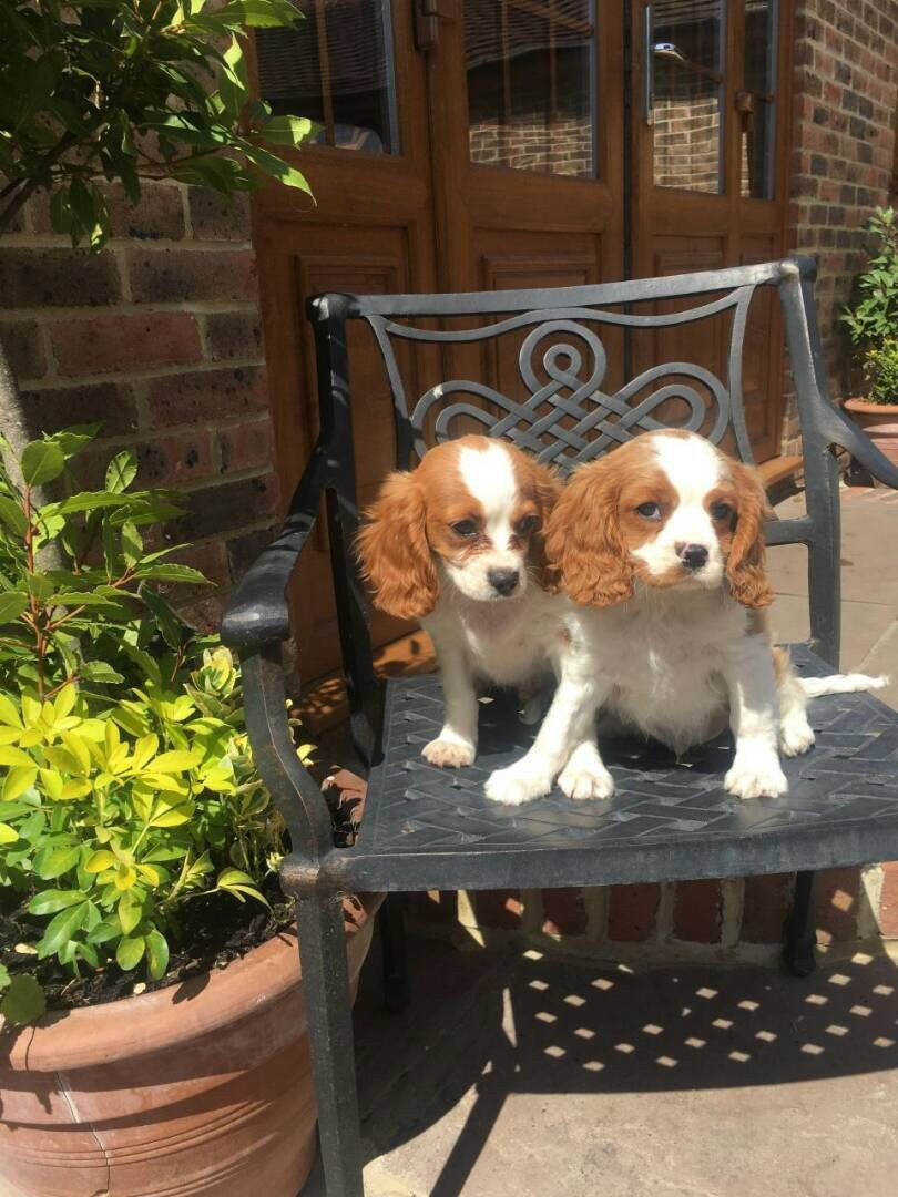 King Charles Spaniel Puppies For Sale Chicago Heights Il