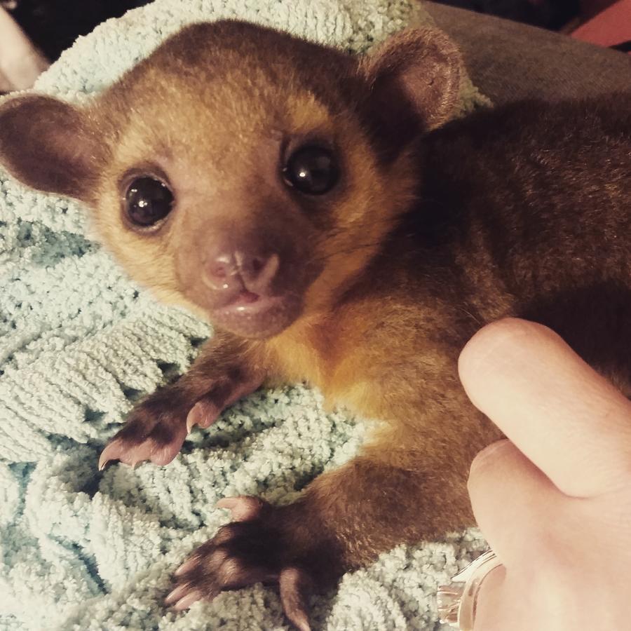Kinkajou Animals For Sale | Edgewood, TX #240576 | Petzlover