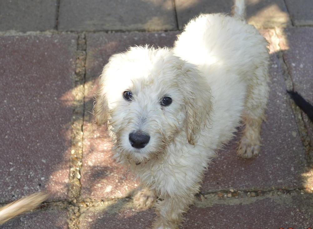 Labradoodle Puppies For Sale Spokane Wa 157251