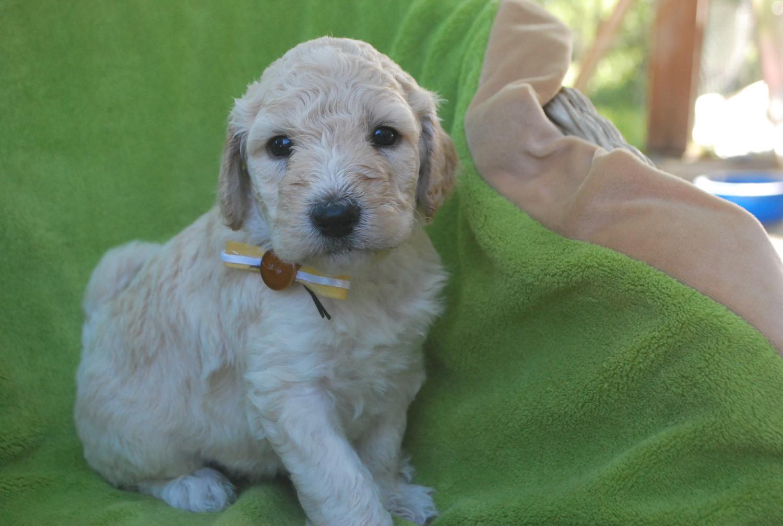 labradoodle puppies for sale alpine ut 204343