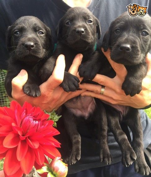 Labradoodle Puppies For Sale Portland Or 227747