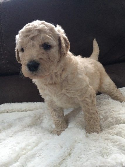 Labradoodle Puppies For Sale Brownfield Tx 231008