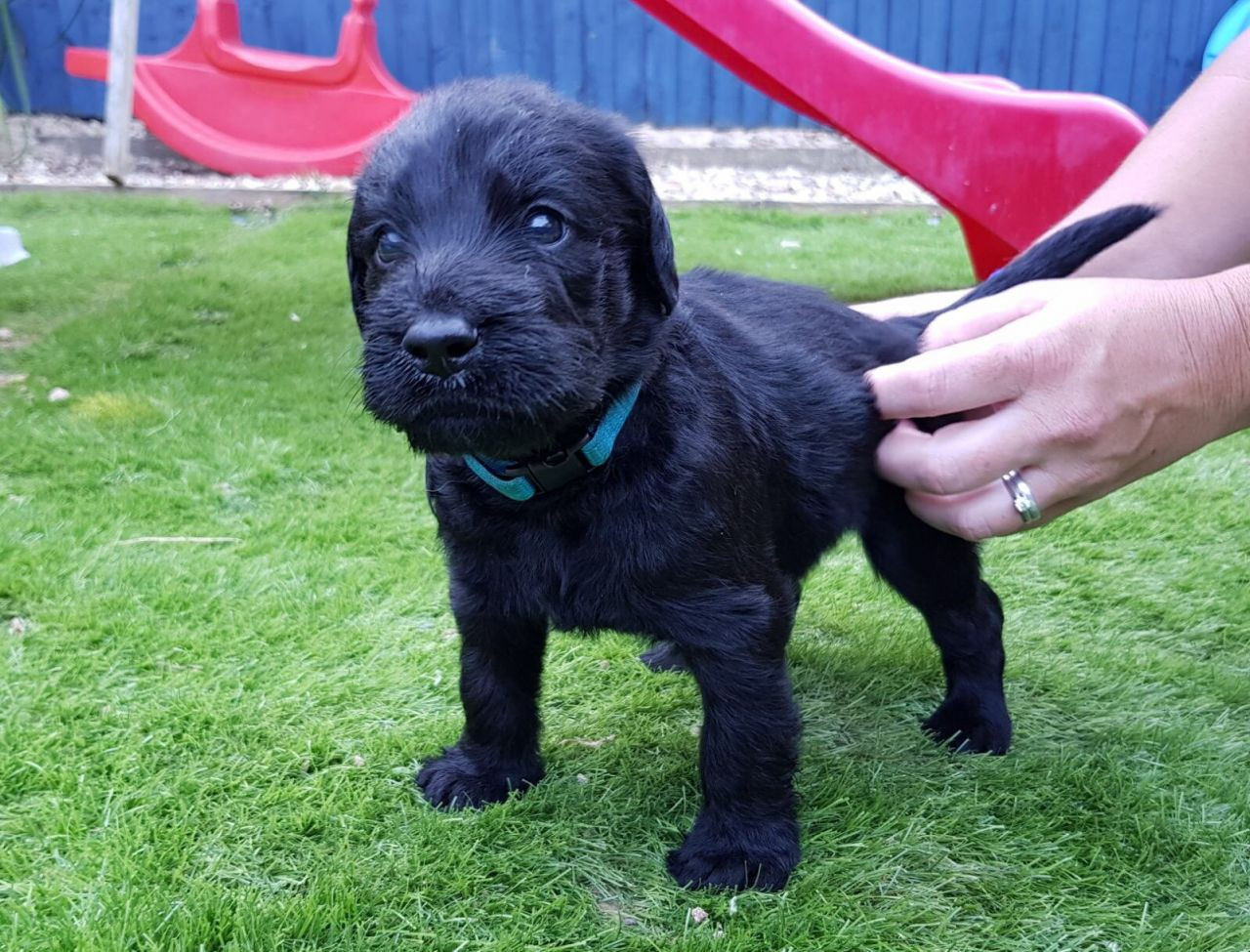 Labradoodle Puppies For Sale Unionville Center Oh 238471