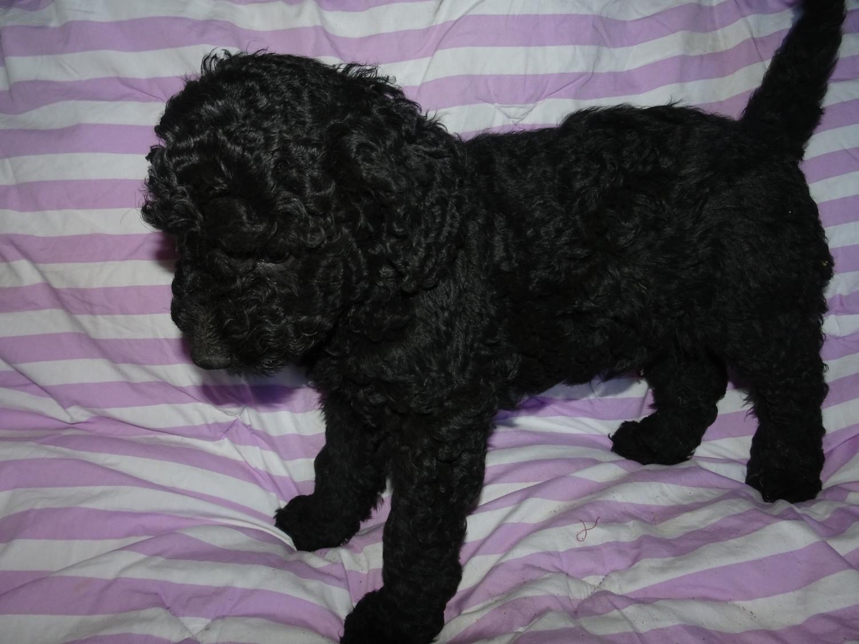 Labradoodle Puppies For Sale Mesa Az 239212 Petzlover