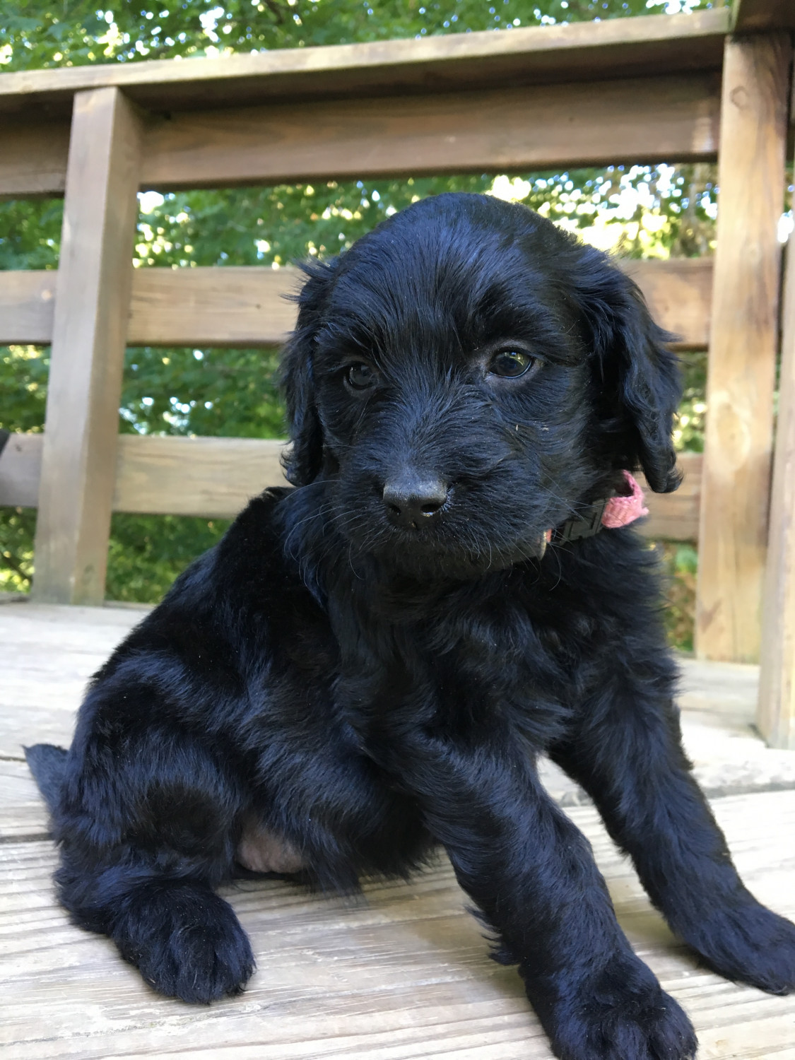 Labradoodle Puppies For Sale Marion Ky 239582