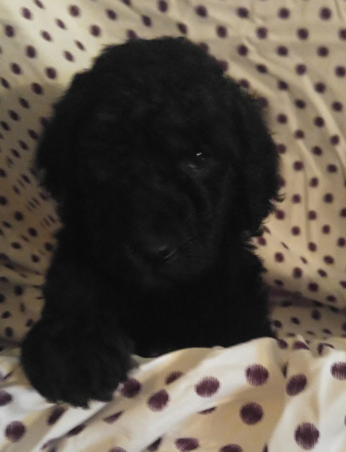 Labradoodle Puppies For Sale Leitchfield Ky 239463