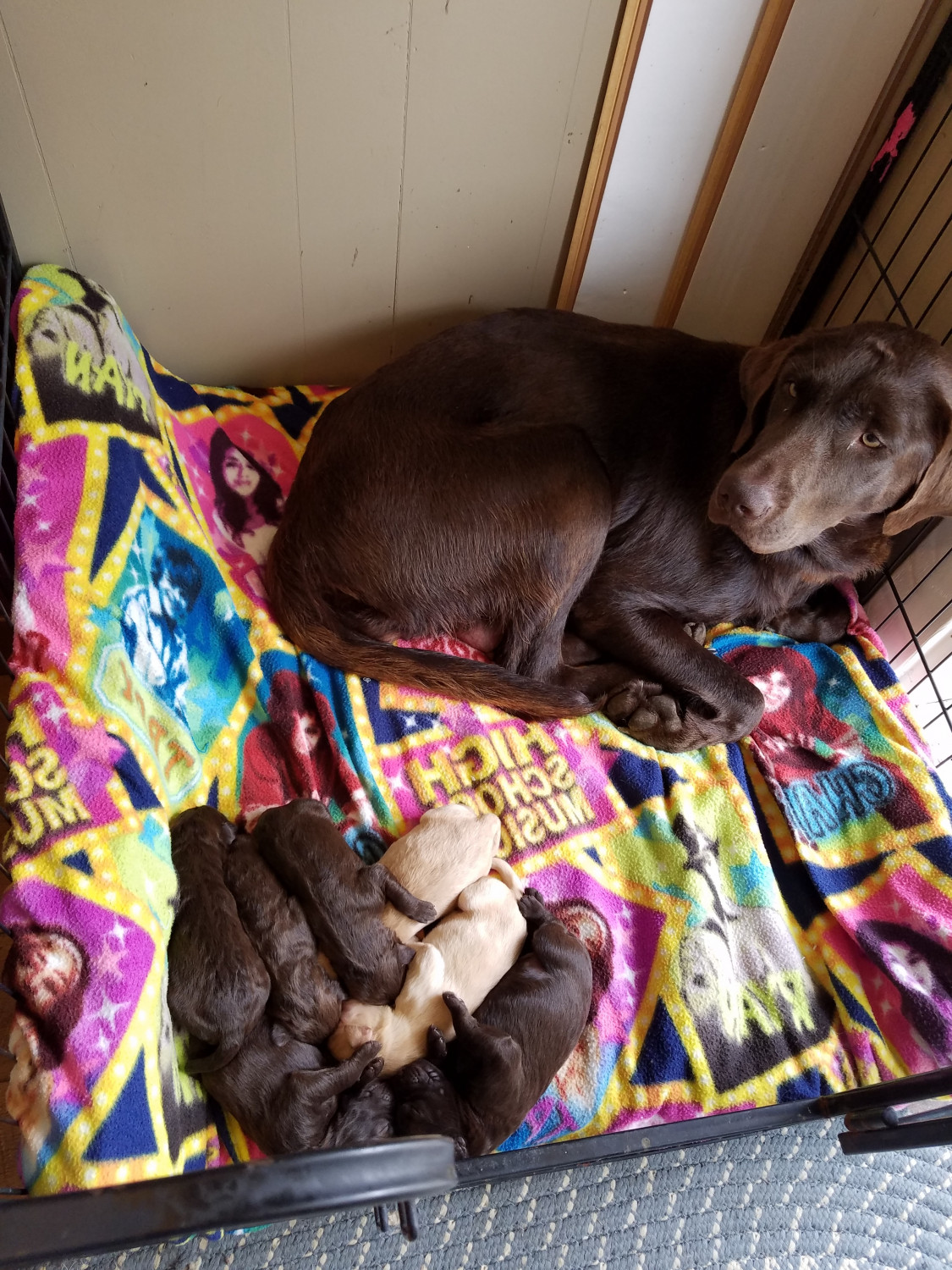 Labradoodle Puppies For Sale Cynthiana Ky 241316