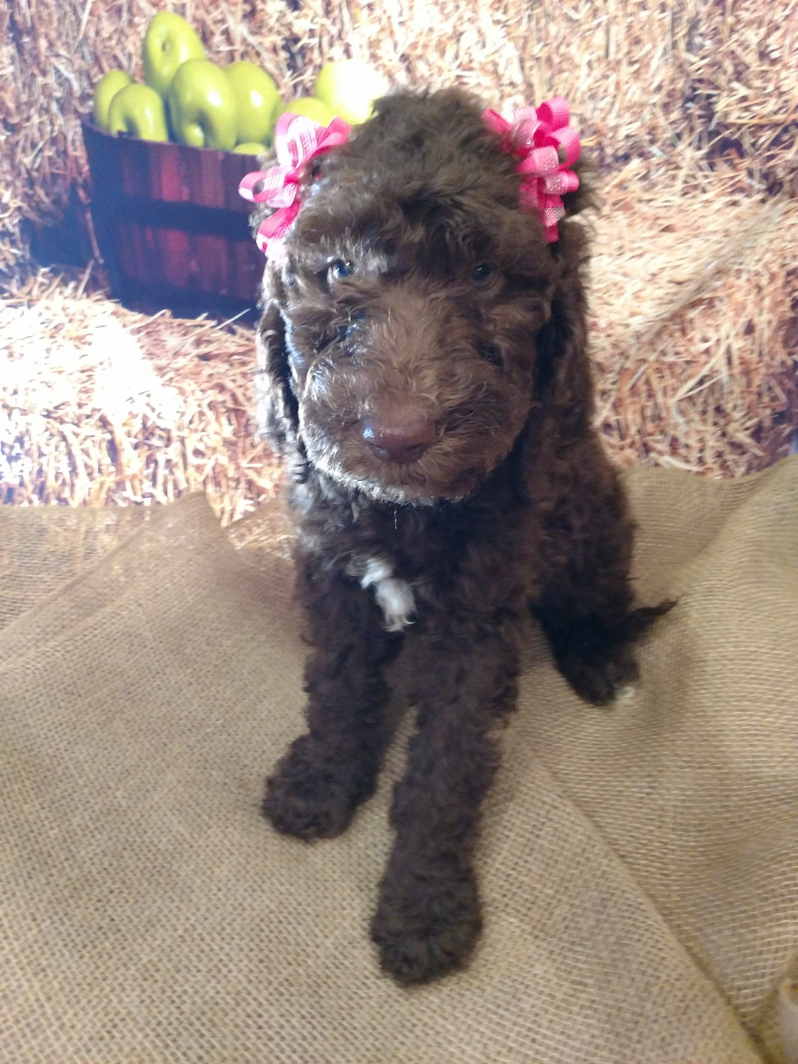 Labradoodle Puppies For Sale Havelock Nc 251416