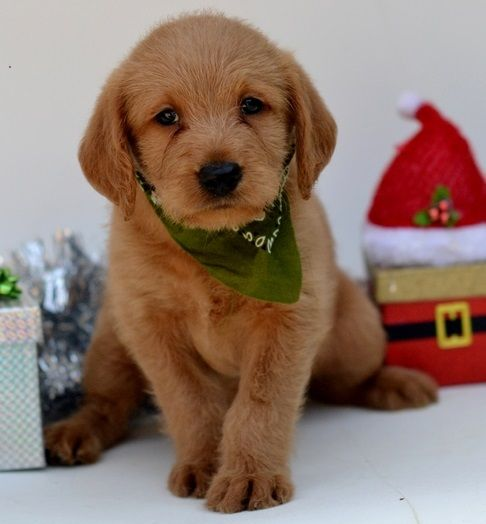 Labradoodle Puppies For Sale Bardstown Ky 258122