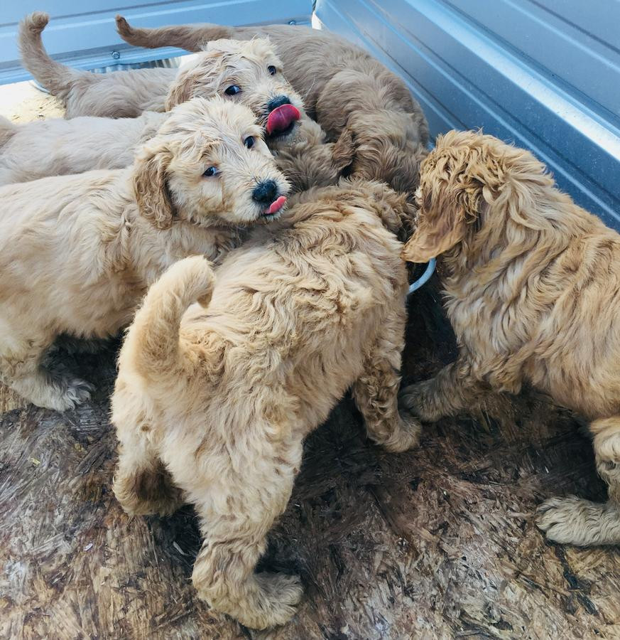 Labradoodle Puppies For Sale Avon Oh 264946 Petzlover