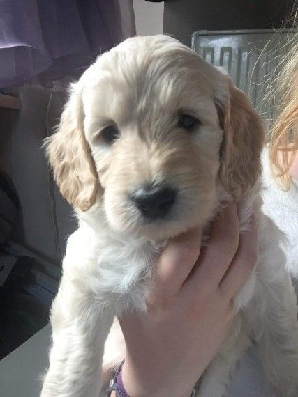 Labradoodle Puppies For Sale Downtown Co 277521