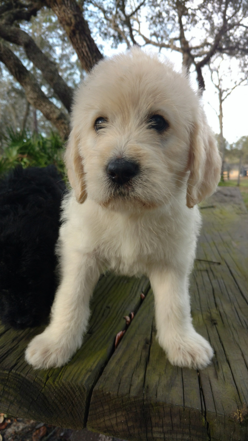 Labradoodle Puppies For Sale Brooksville Fl 288454