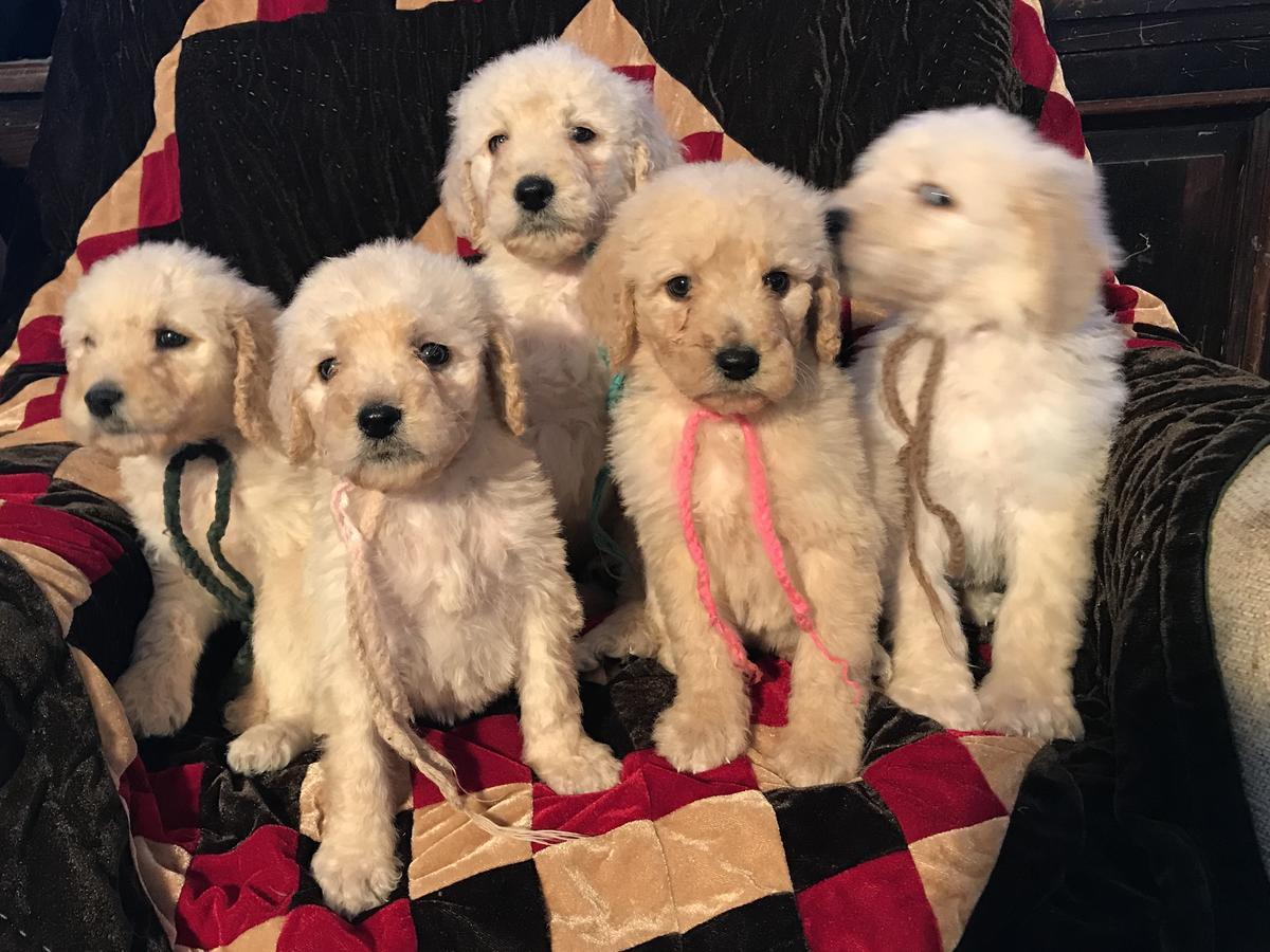 Labradoodle Puppies For Sale Phoenix Az 296221
