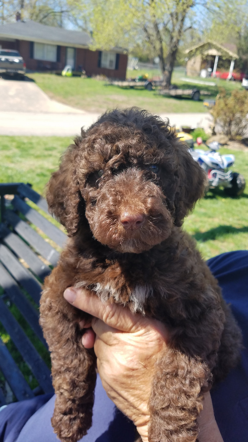 Labradoodle Puppies For Sale | Leitchfield, KY #296244