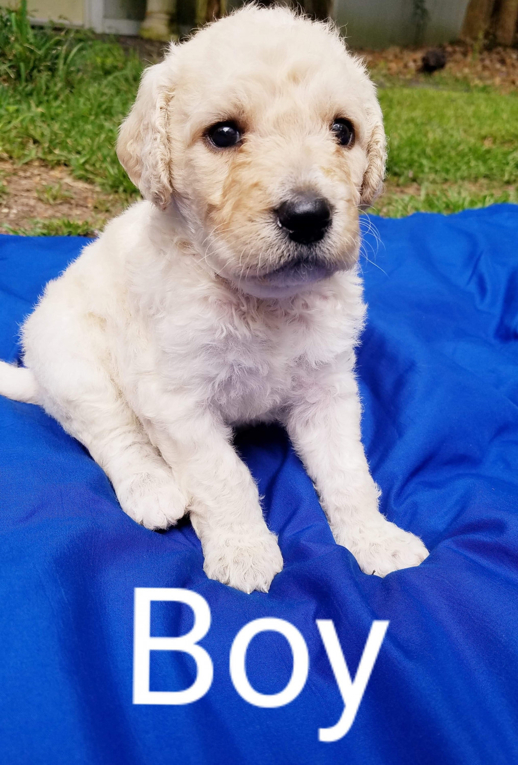 Puppies for sale bossier city