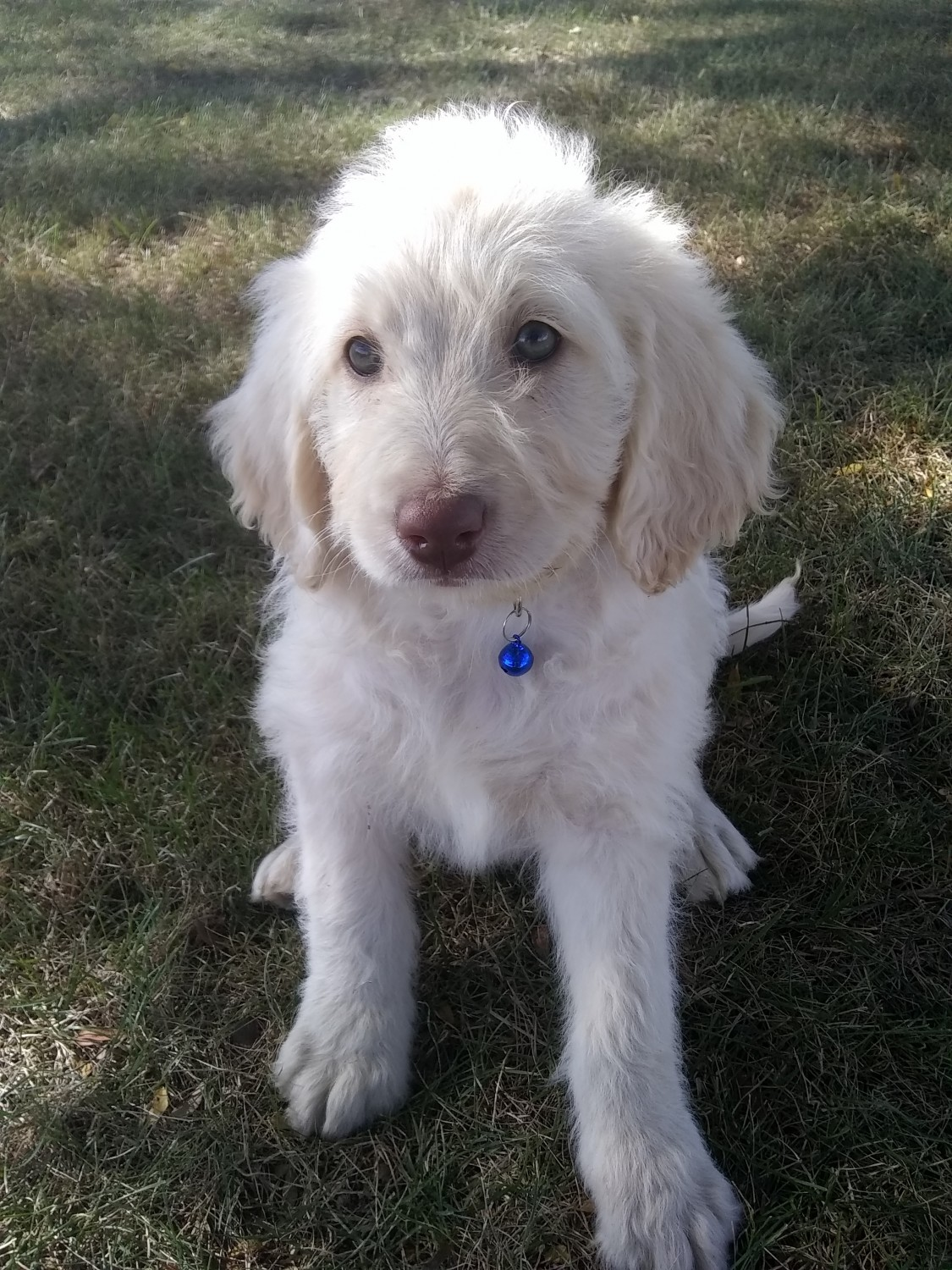 Labradoodle Puppies For Sale Woodburn In 310080