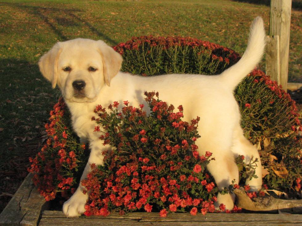 Labrador Retriever Puppies For Sale   Manilla, IA #81584