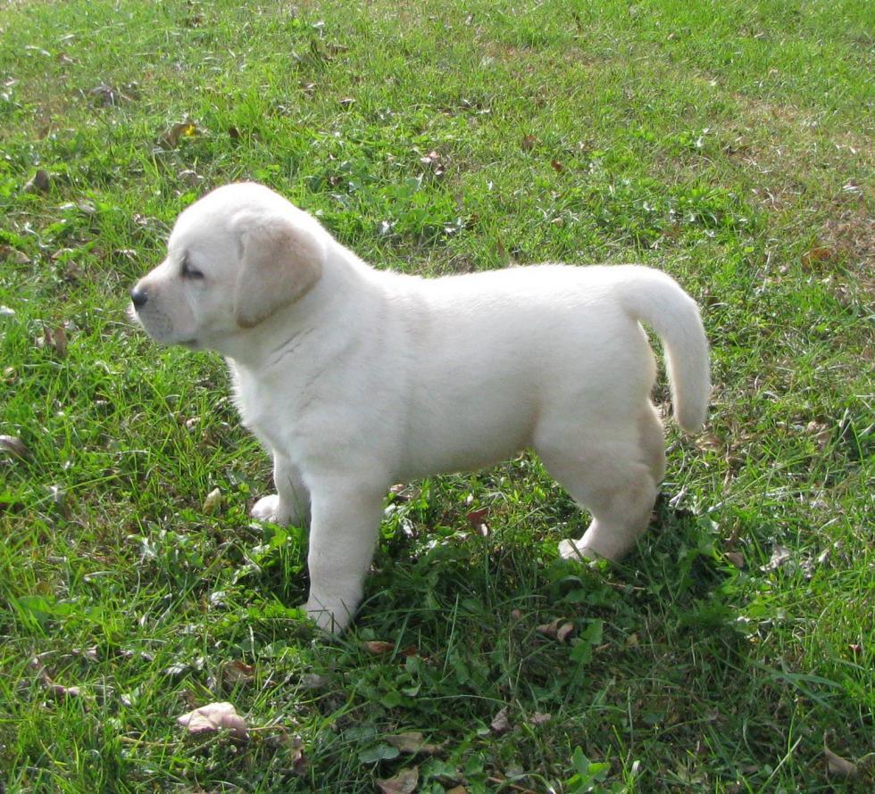 Labradors For Sale In Iowa