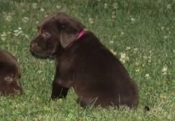 Labrador Retriever Puppies For Sale Pittsburgh Pa 101189