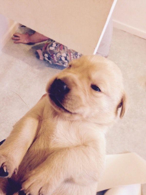 Labrador Retriever Puppies For Sale   Los Angeles, CA #102736
