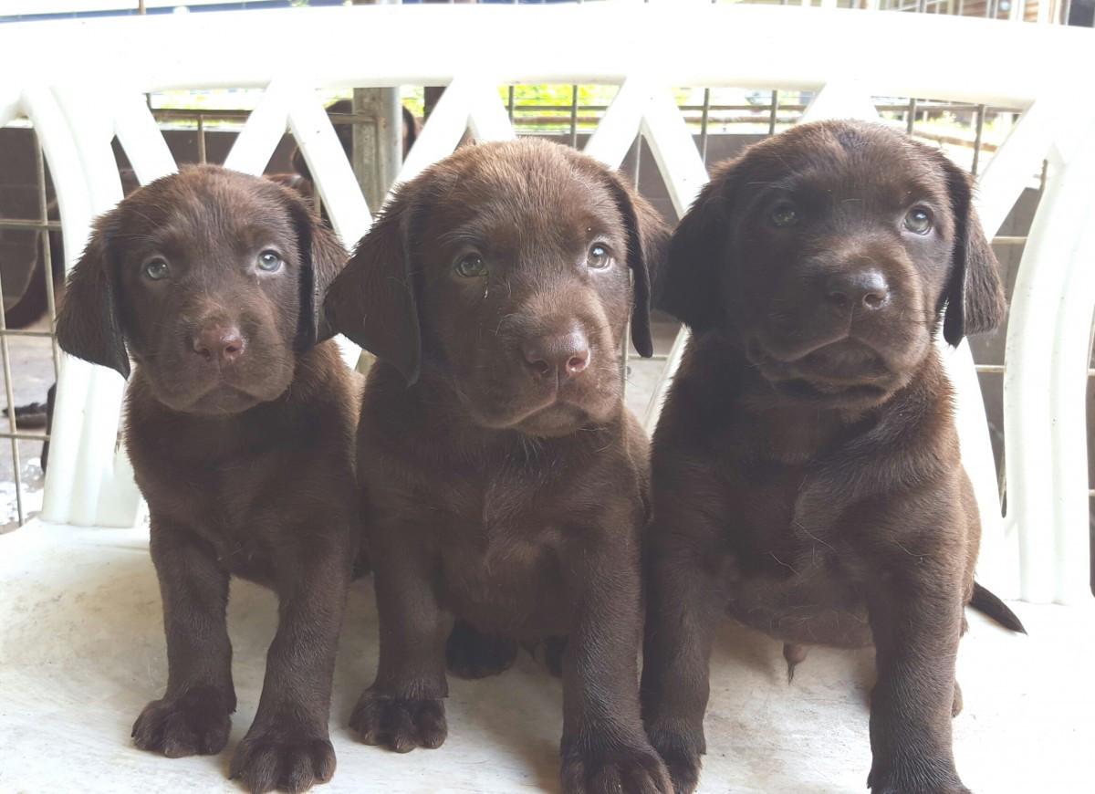 Labrador Retriever Puppies ...