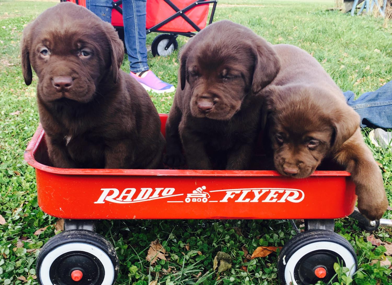 labrador retriever puppies for sale gosport in 173952
