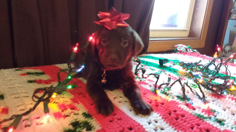 Labrador Retriever Puppies For Sale Burlington Wi 174816