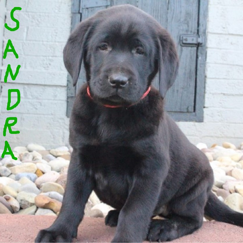 Labrador retriever puppies for sale canton oh 193356 for Dog kennels for sale in ohio