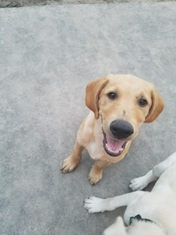 Labrador Retriever Puppies For Sale Weeki Wachee Fl 218241