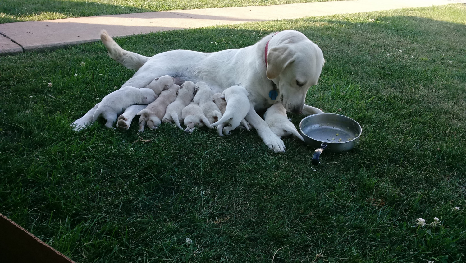 Labrador retriever puppies for sale ephrata pa 227823 for Dog kennels for sale in pa