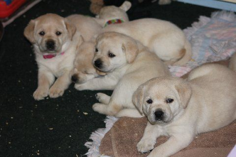 Labrador Retriever Puppies For Sale New York Ia 236450